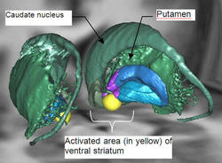 3D representation of motivational system (striatum ventral) activated during physical or mental effort.